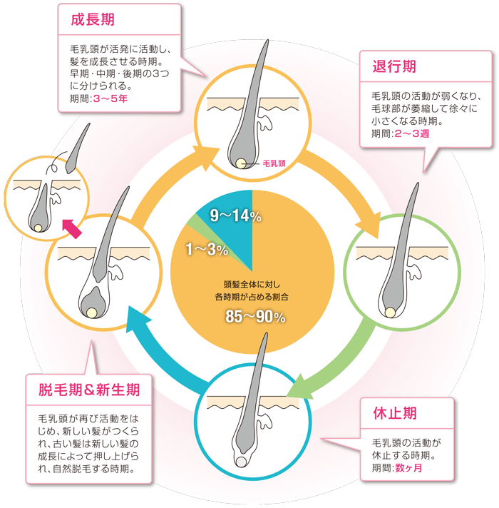 hair-cycle