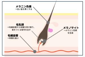 hair-melanosite
