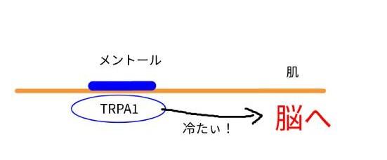menthol-mechanism